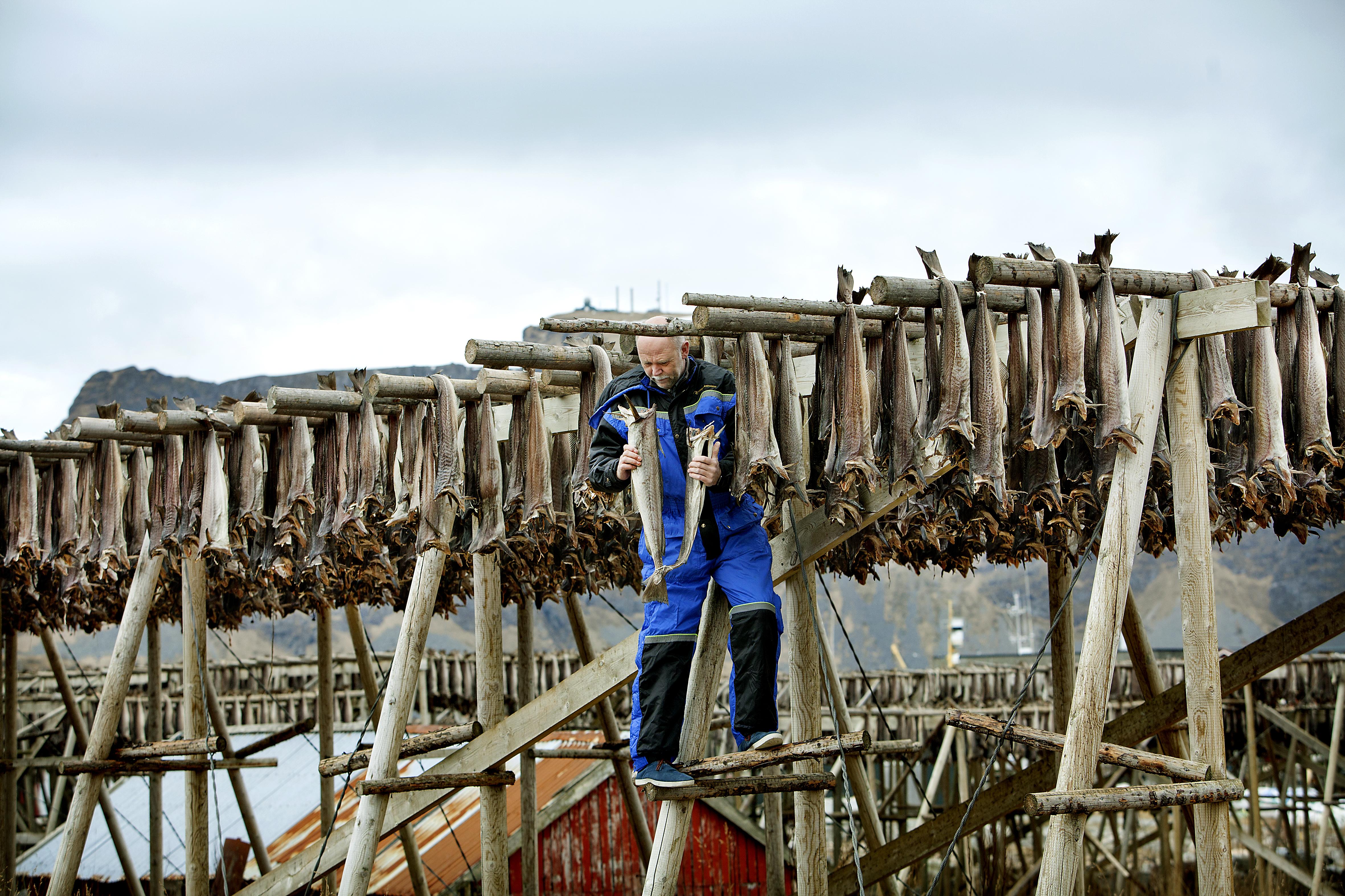 Foto: Mette Møller. Rolf sjekker om årets tørrfisk er klar for å plukkes ned fra hjellene.